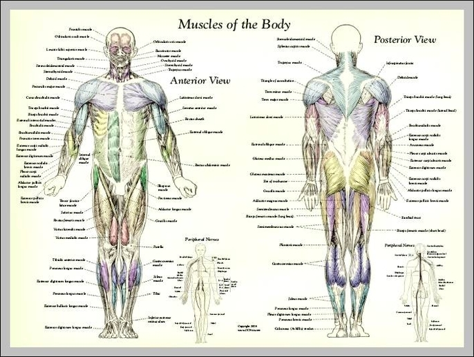 Labeled human body anatomy system human body anatomy diagram and labeled human body ccuart Image collections