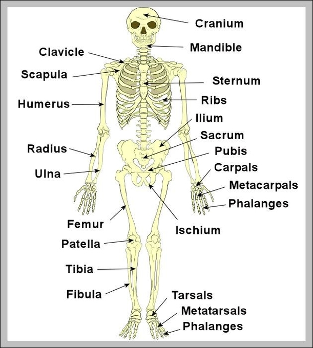 Human Skeleton Anatomy Anatomy System Human Body Anatomy Diagram