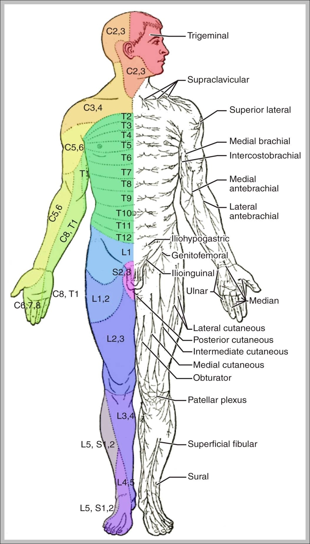 Muscle diagram anatomy system human body anatomy diagram and labeled muscle diagram 10241878 diagram labeled muscle diagram 10241878 chart human anatomy diagrams and charts explained ccuart Choice Image
