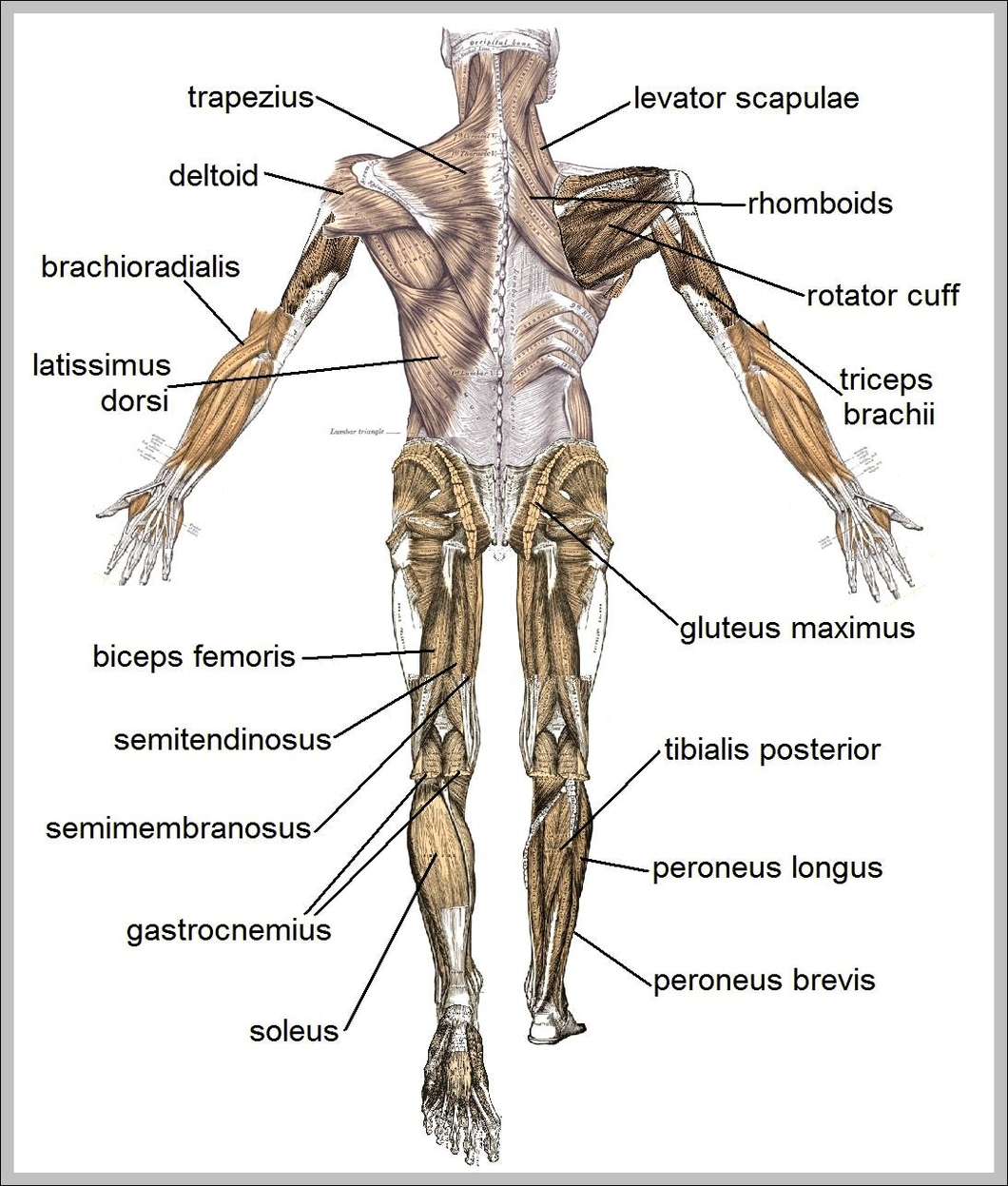 admin | Anatomy System - Human Body Anatomy diagram and chart images ...