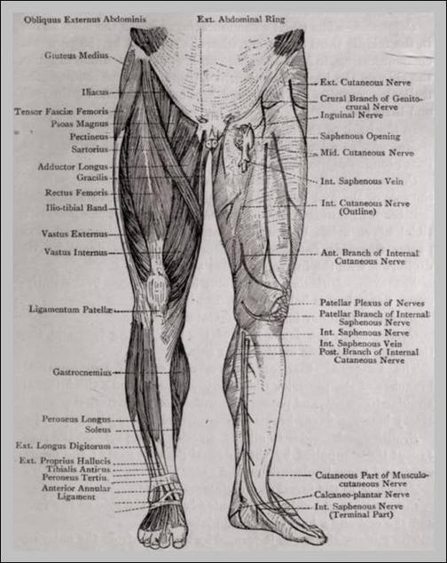 leg parts anatomy