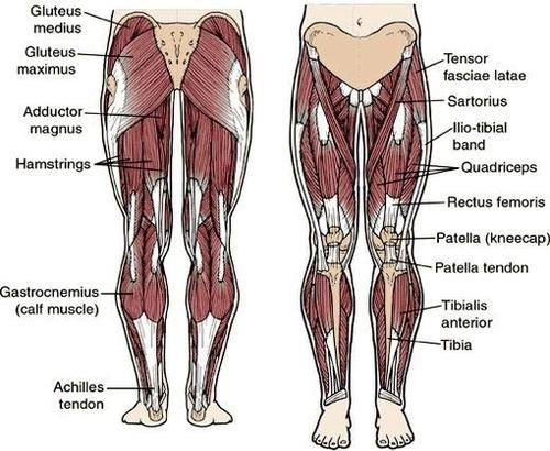 leg muscle charts - Mersn.proforum.co