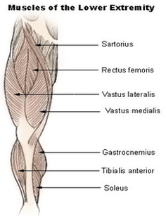 lower extremity muscles diagram