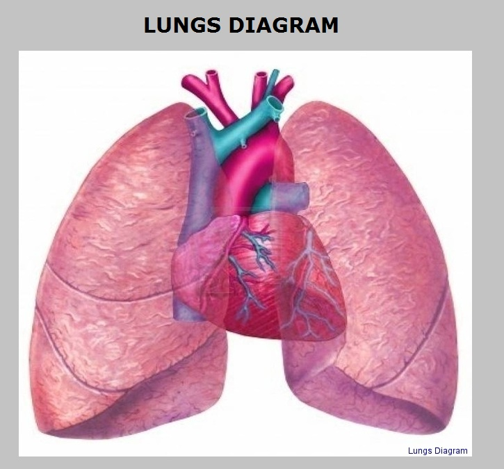 Human Lungs Anatomy System Human Body Anatomy Diagram And Chart