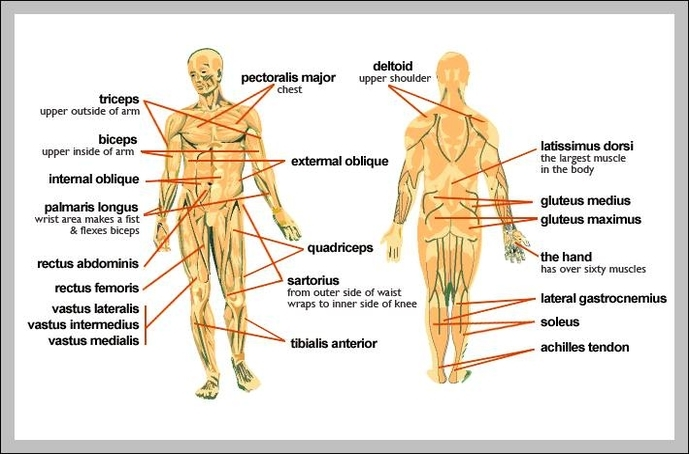 human muscles | Anatomy System - Human Body Anatomy diagram and ...