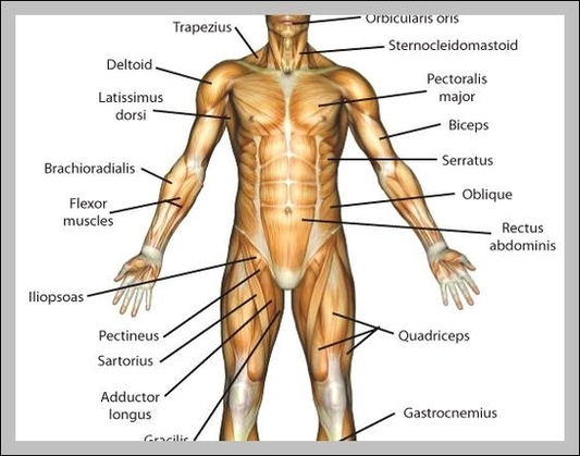 muscle chart | Anatomy System - Human Body Anatomy diagram and chart ...