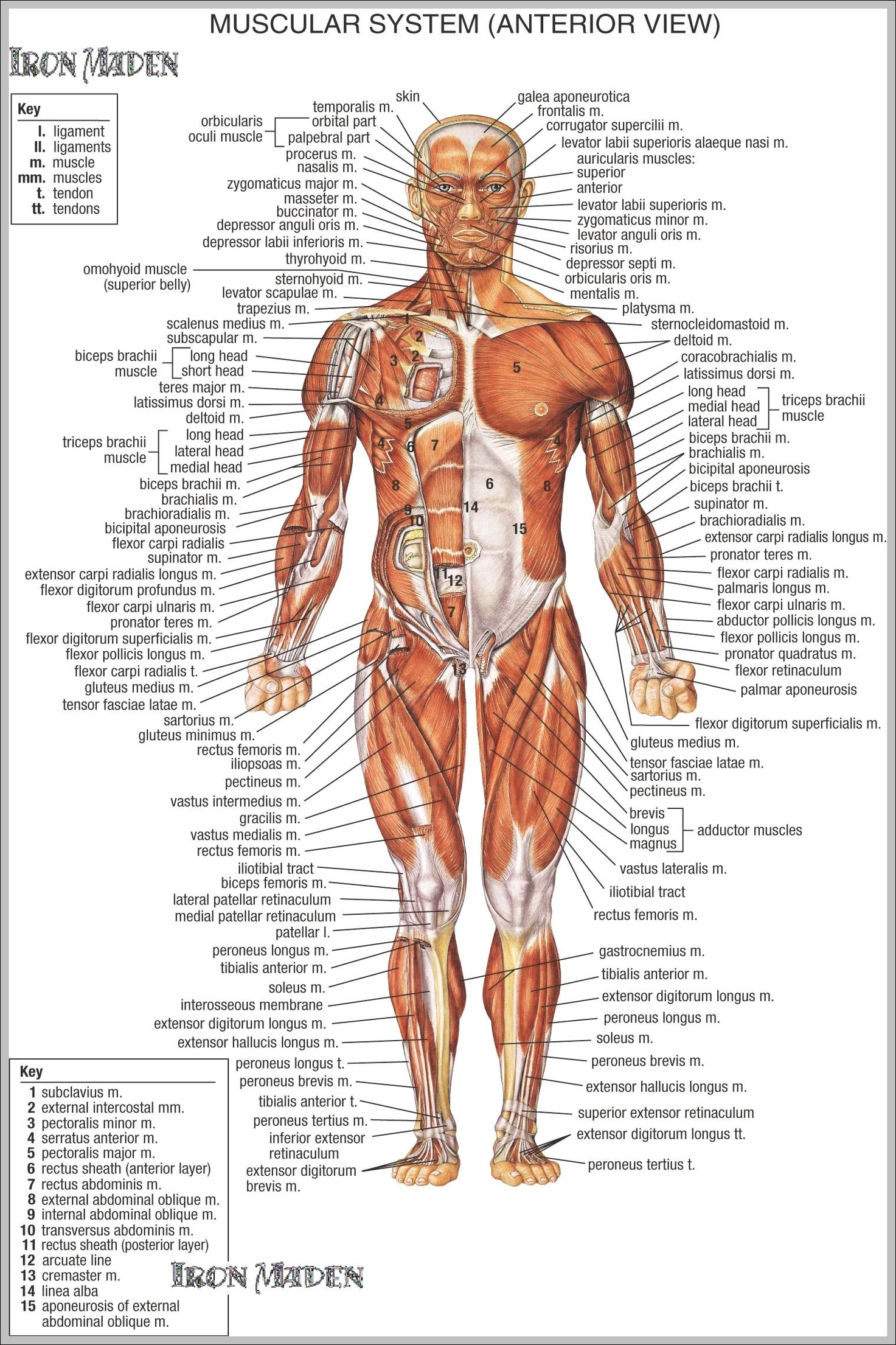 muscle | Anatomy System - Human Body Anatomy diagram and chart ...