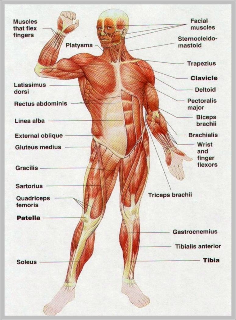 Muscle Anatomy Human Body Diagram - Online Schematic Diagram •