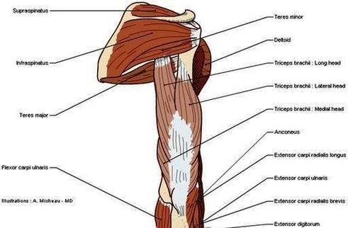 Muscles arm human anatomy illustration diagram en medical anatomy muscles arm human anatomy illustration diagram en medical ccuart Image collections