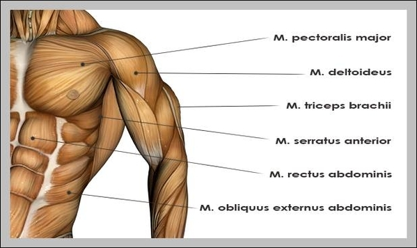 Muscle Diagram Anatomy System Human Body Anatomy Diagram And