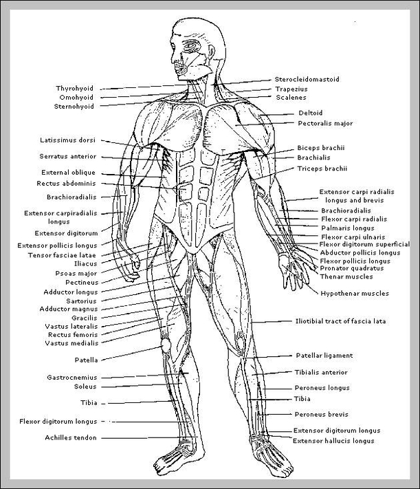 Muscles of the human body diagram anatomy system human body muscles of the human body diagram ccuart Image collections