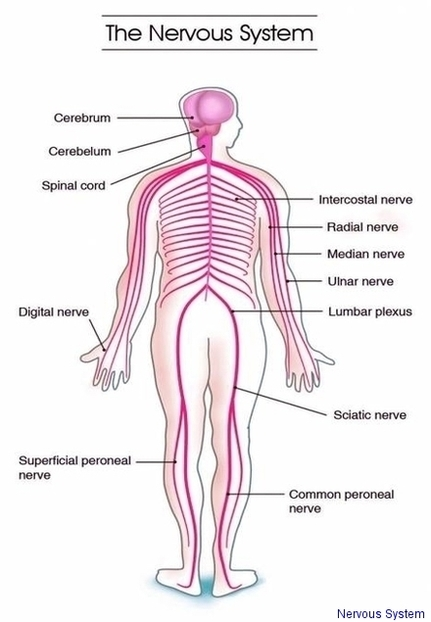 Nervous system diagram anatomy system human body anatomy nervous system diagram nervous system chart human anatomy diagrams and charts explained this diagram depicts nervous system with parts and labels ccuart Images