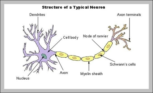 Admin anatomy system human body anatomy diagram and chart images neuron anatomy diagram neuron anatomy chart human anatomy diagrams and charts explained this diagram depicts neuron anatomy with parts and labels ccuart Choice Image