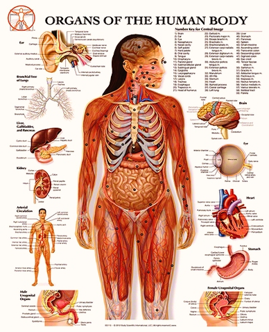 Organs Of The Human Body Graph Anatomy System Human Body Anatomy