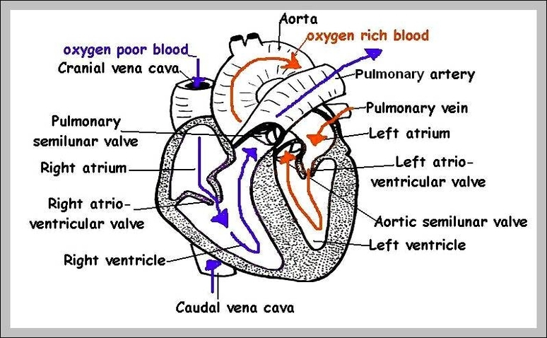 Human heart anatomy anatomy system human body anatomy diagram picture of heart labeled chart human anatomy diagrams and charts explained this diagram depicts picture of heart labeled with parts and labels ccuart Image collections