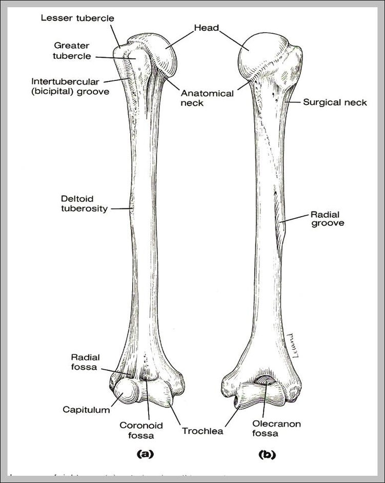 picture of humerus 744 u00d7973