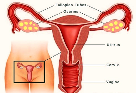 Female Reproductive Organs Graphs Anatomy System Human Body