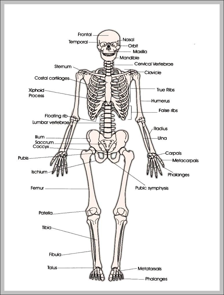 Printable Human Skeleton 7441022 Anatomy System Human Body