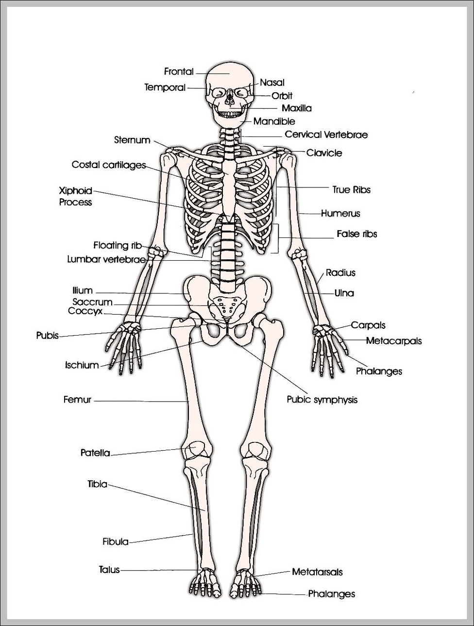Skeleton anatomy system human body anatomy diagram and chart images printable human skeleton diagram printable human skeleton chart human anatomy diagrams and charts explained this diagram depicts printable human ccuart Image collections