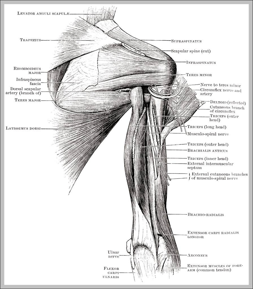 shoulder muscle diagram