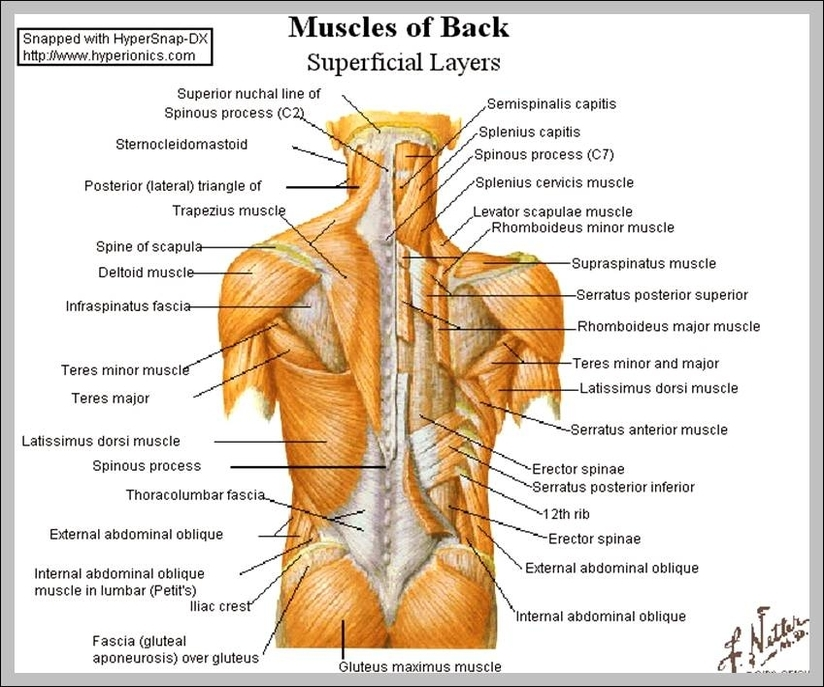 Shoulder Back Muscles Anatomy System Human Body Anatomy Diagram