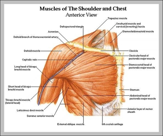 muscles anatomy | Anatomy System - Human Body Anatomy diagram and ...