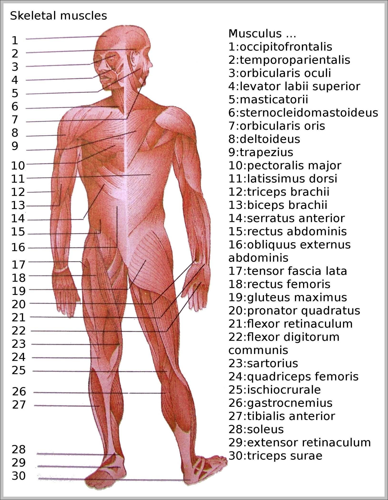 Skeleton anatomy system human body anatomy diagram and chart images skeletal muscle diagram ccuart Choice Image