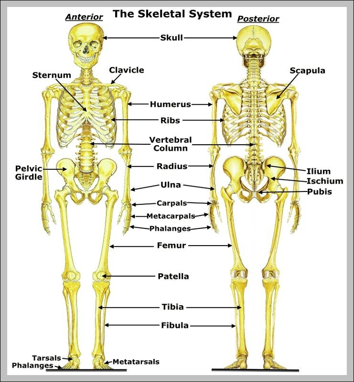 Skeleton Anatomy System Human Body Anatomy Diagram And Chart Images