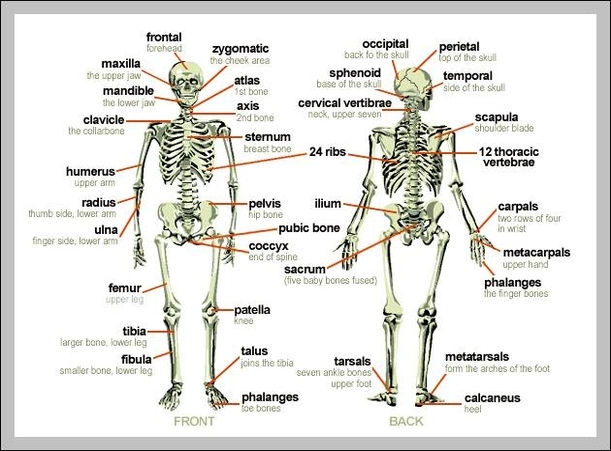 Skeleton of human body labeled anatomy system human body anatomy skeleton of human body labeled ccuart Images