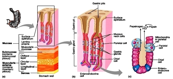Stomach histology diagram anatomy system human body anatomy stomach histology diagram ccuart Gallery
