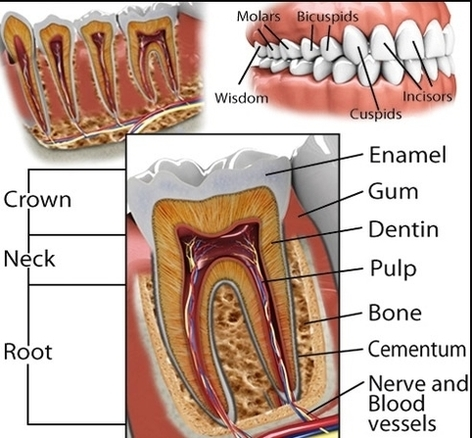 Teeth Diagram Anatomy System Human Body Anatomy Diagram And