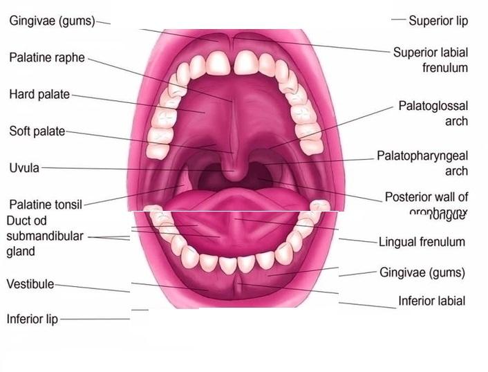 Teeth Diagrams Anatomy System Human Body Anatomy Diagram And