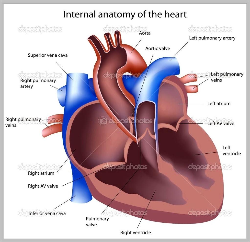 heart diagram | Anatomy System - Human Body Anatomy diagram and ...