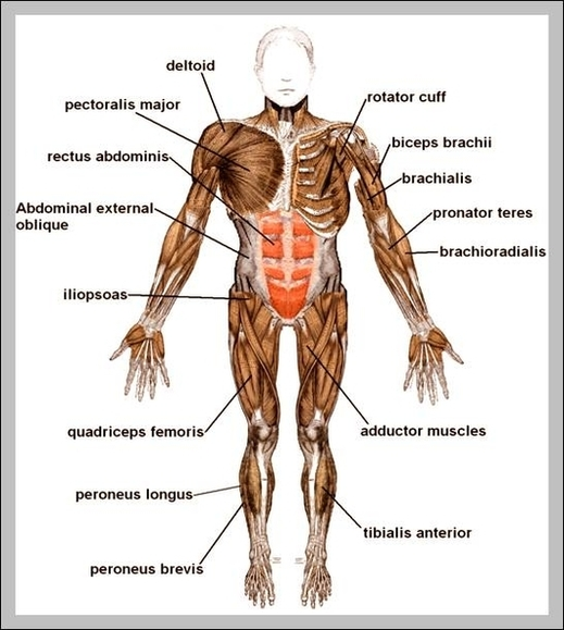 the musculoskeletal system | Anatomy System - Human Body Anatomy ...